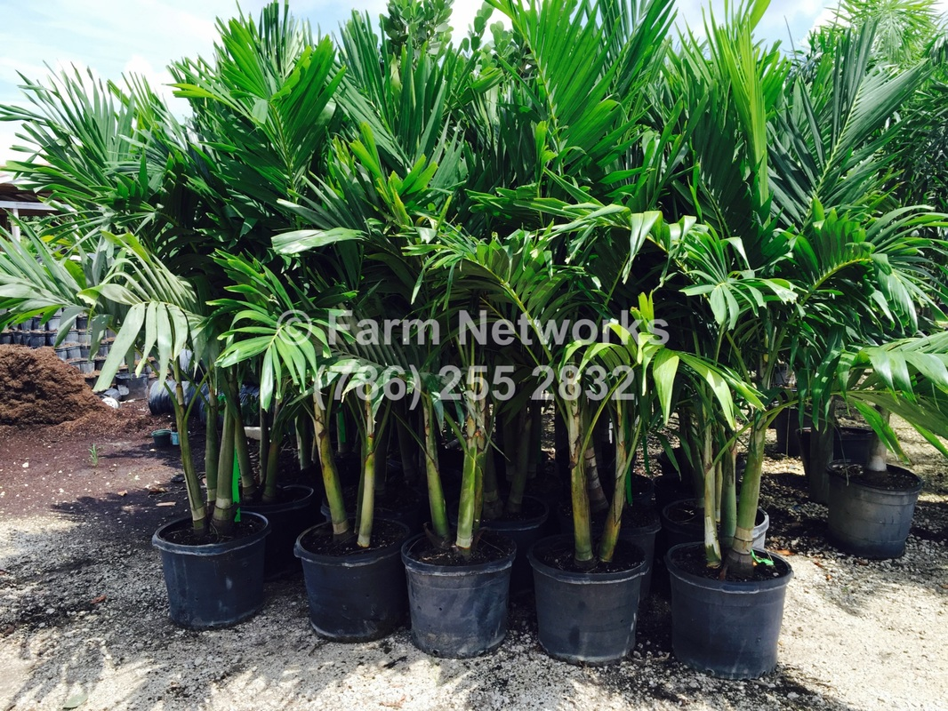 Our Nursery Plants Pictures Florida Tree Farms 786 255