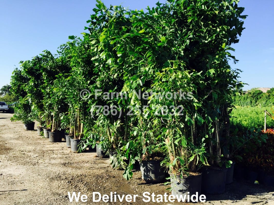 Florida Tree Farms 786 255 2832 We Deliver Clusia