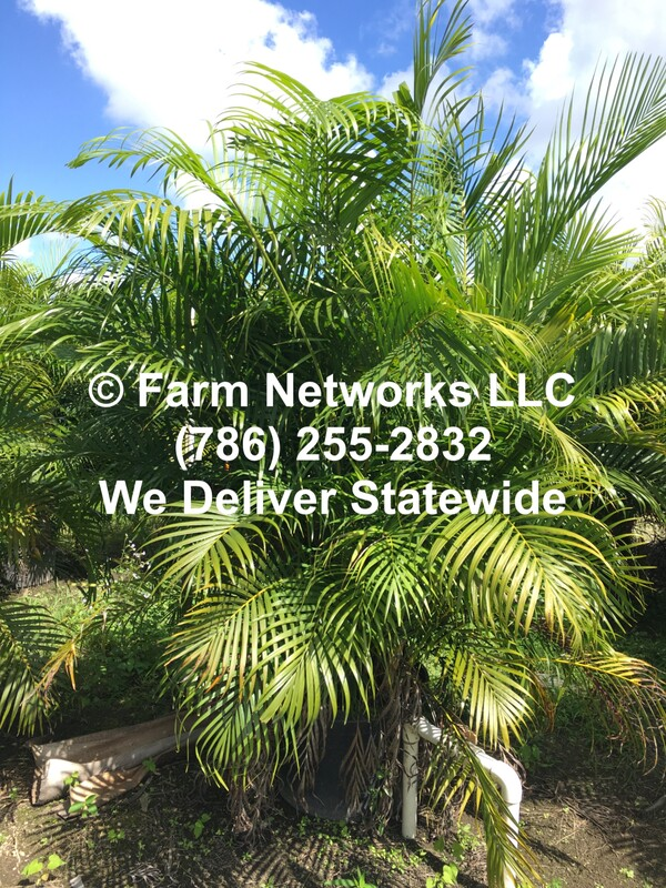 Areca Palm Trees Florida Tree Farms 786 255 2832 We Deliver