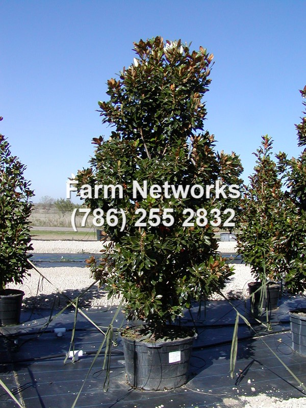 Magnolia Trees Naples Florida Tree Farms 786 255 2832