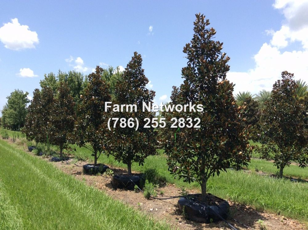 Magnolia Tree Farm Florida Tree Farms 786 255 2832 We