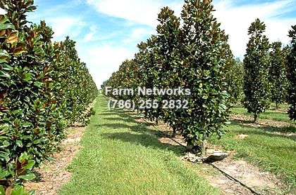 Magnolia Trees Miami Florida Tree Farms 786 255 2832 We